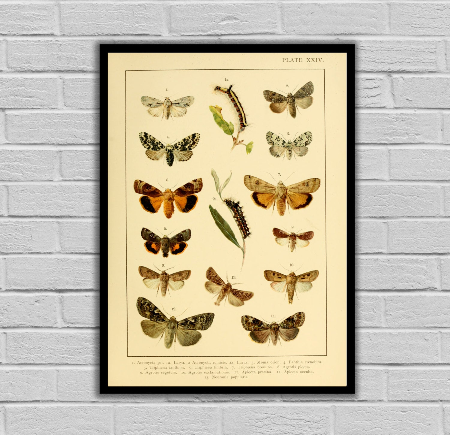 Vintage Moths and Caterpillars Print/Canvas - Antique Moth ...