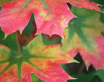 Splendor - Nature Photography - Autumn Leaves in Red and Green - 4x6, 5x7, 8x10, 11x14, 16x20