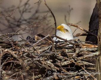 Bald Eagle on Nest #2026