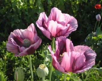 Poppy Seeds, Papaver Somniferum, Unwashed, Untreated, - 4 grams (6,000 seeds),