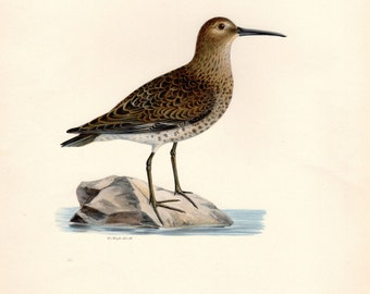 1917 Antique Bird Print Dunlin Large Lithograph 14 X 11 Inches