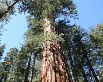 Sequoiadendron Giganteum - 30 Seeds - Giant Sequoia Redwood