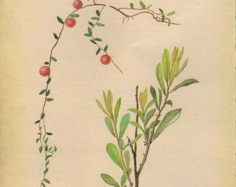 Vintage Edwardian Berry Herbs 117 Botanical Print plant print botanical flowers print bookplate art print 1970 plants wall art