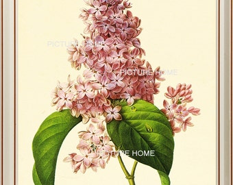 Lilac Botanical Print 77 Beautiful 8X10 Antique Redoute Art Room Decoration Wall Art to Frame Garden Nature Summer Spring