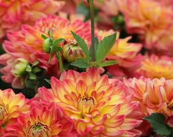 Summer Fall Dahlias Photo Print