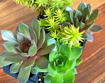 """4 Hardy Succulent Variety Pack 