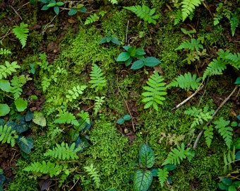 Ferns in Moss, Nature Photography, Wall Art, Fern Photography, Botanical Print