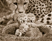Baby Cheetah Sepia Photo,...