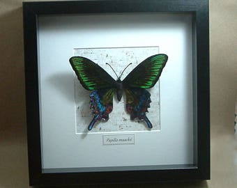 "Chenille velvet realistic (cruelty free!) ""Papilio mackii"" butterfly, framed in shadowbox"