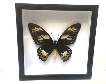 Large Ornithoptera Priamus Poseidon Female Butterfly/Insect/Taxidermy/Lepidoptera.