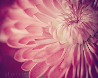 pink botanical photography, floral, flower photography, petals, mum, chrysanthemum / pink, purple, violet, fuchsia, berry / layers of pink /