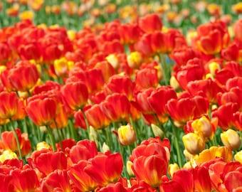 Tulip Brilliance -  Canvas Wrap - Michigan Photography