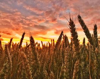 Corn Field Sunset, Print, Poster, Wall Art, Photography