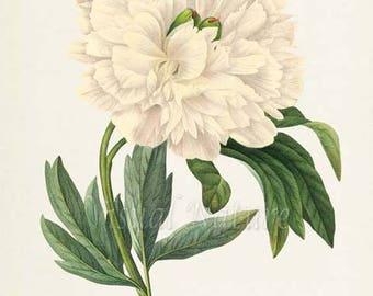 Peony Flower Art Print, Botanical Art Print, Flower Wall Art, Flower Print, Floral Print, Redoute Art, white, green, Paeonia officinalis