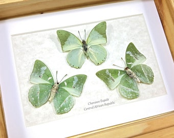 FREE SHIPPING Framed Charaxes Eupale or Common Green Charaxes Butterfly Taxidermy A1 #118