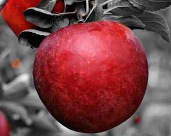 The Poisoned Apple Photograph, Color Splash, Bucks County, Pennsylvania, Office decor,  Home Decor, Kitchen, Wall Art, Print, Red Apple