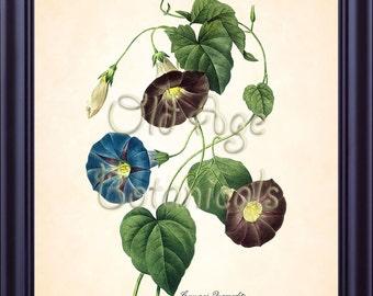 Redoute Antique Botanical 8x10 Art Print Blue Ipomoea Quamodit MORNING GLORY Vintage Plate 57 Flowers Home Art Decor Illustration BF1337