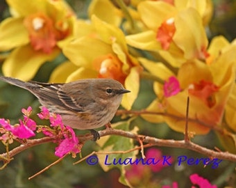 Yellow-Rumped Warbler on Pink Flowers with Orchids