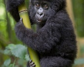 CUTE BABY GORILLA Photo P...