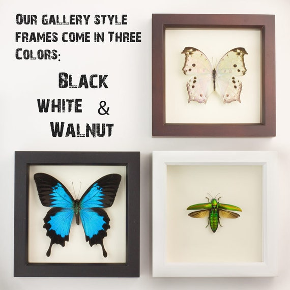 Papilio rumanzovia Framed Insect Taxidermy Display