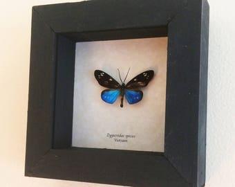 Real day flying moth framed - Zygaenidae species