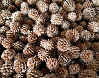 100 Australian Pine Tree Pine Cones from Boca Grande Island