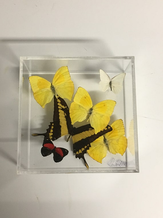 La Primavera - One of a kind real butterfly panel