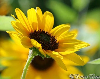 Sunflower Photography, yellow flower photo, nature wall art, country decor, flower gifts, fine art print