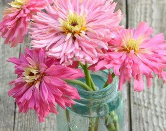 Pink Cactus Zinnia Seeds, Pink Zinnias, 25 Heirloom Seeds, Enormous Pink Zinnia Blooms, Great for Cut Flower Gardens and Butterfly Gardens