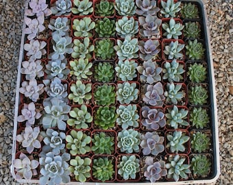 """240 ROSETTE Only Wedding Succulent collection potted in 2"""" containers collection of Beautiful WEDDING FAVOR Succulents Gifts~"""