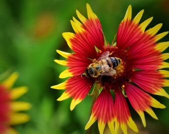 Nature Photo Print Bee On Indian Blanket Wildflowert