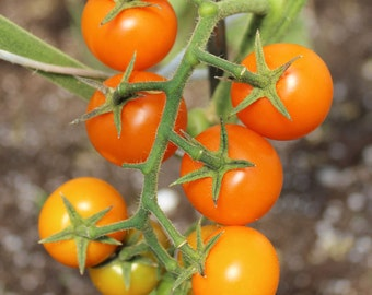 Tomato Plant, Sun Gold F1 Cherry Organic Cherry