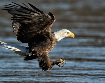 Bald Eagle Photograph,Bald eagle, picture of bald eagle flying, bird in flight,fine art, print