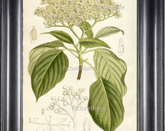 Botanical Art Print Dogwood Tree Plant B14 Beautiful 8X10 White Flowering Garden Tree Nature Natual Science Wall Decor Interior Design