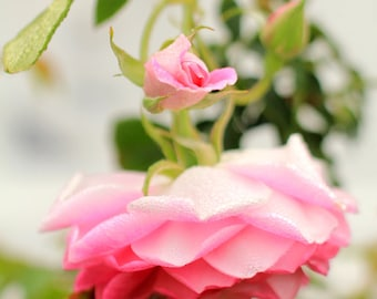 Flower Photography - Pink Rose Photo Print - Morning Mist in the Garden - Size 8x10, 5x7, or 4x6