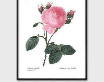 Bedroom Decor Rose Art, Romantic Wall Art (Pink Bedroom Decor, Instant Digital Download, Botanical Print) Pierre Redoute