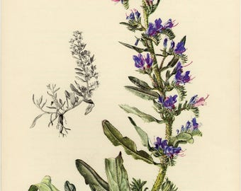 Vintage lithograph of the viper's bugloss or blueweed from 1954