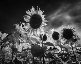 Sunflowers in Monochrome II