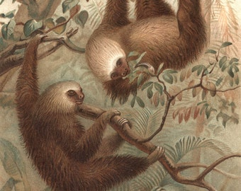 Sloth FAmily Color Photograph Print from an original Vintage 1895 the Two toed Sloth Family Wall Art Reproduction