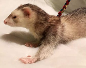 Ferret/small pet self-adjusting Infinity Leash Harness combination