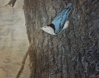"""Harrison Hills White Breasted Nuthatch, Graphite and Prismacolor Colored Pencil drawing, Original Artwork, 14"""" x 11"""", matboard, smudge proof"""
