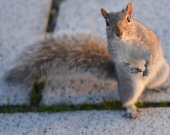 Fine Art Photography, Squirrel Photography, 8x10, 4x6, 8x12, 11x14, Squirrel Print, Squirrel Photograph, Squirrel Art