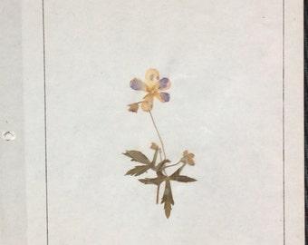 VINTAGE WILDFLOWER DISPLAY, pressed page, 1968 school project,  wild geranium
