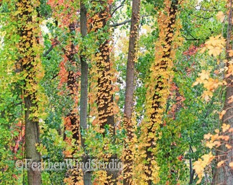 Autumn Abstract Nature Photography | Cottonwood Tree Trunks and Virginia Creeper Vines Wall Decor | Forest Woods | Vertical Fall Art Print