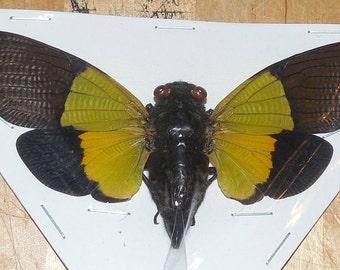 Trengganua sybilla Cicada Real Insect indonesia taxidermy
