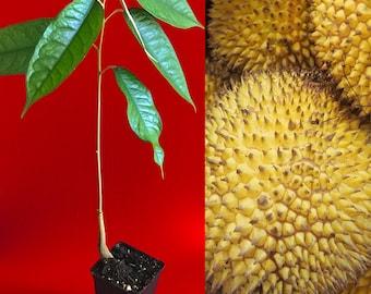 Garcinia cambogia daniela katzenberger picture 4