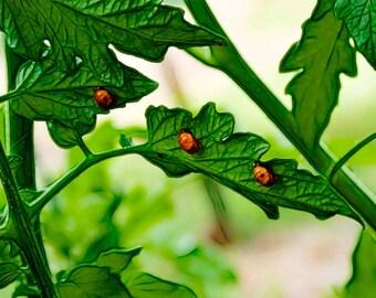 Ladybugs Garden Leaves 'Garden Trio'- Fine Art Photograph Print Picture on Dye Infused Aluminum