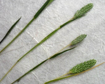 Dried Pressed Grass Flowers/Botanicals. Tiny miniature grass, bright green seed head.