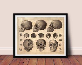 Human Anatomy -  Skulls