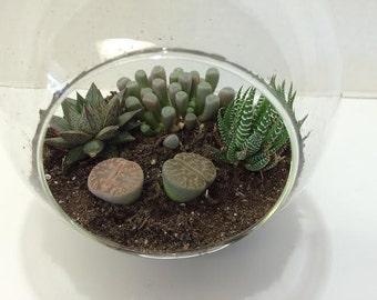 Succulent Plant Glass Globe Terrarium DIY Complete Kit with Four Succulent Plants.